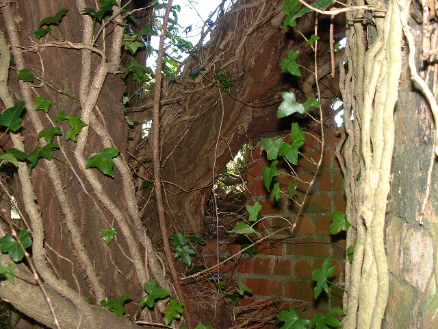 Another photo of the tree. Pillbox is on the right with the protective wall straight ahead. Note the right hand trunk which actually grows across the roof of the pillbox.