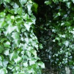 Pillbox covered in ivy. NGR S0 001722